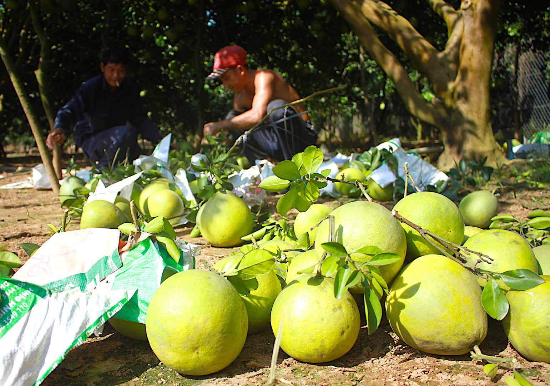 Cận cảnh vườn bưởi lớn nhất Tân Triều, cho thu nhập mỗi vụ cả tỉ đồng - ảnh 13