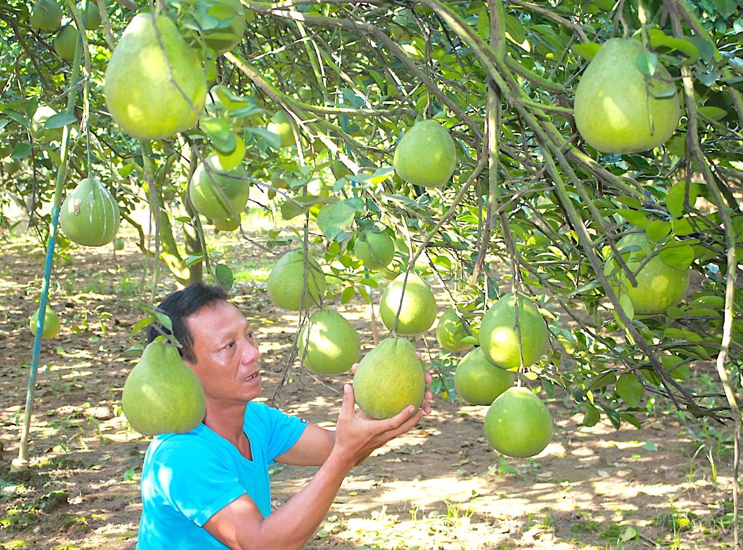 Cận cảnh vườn bưởi lớn nhất Tân Triều, cho thu nhập mỗi vụ cả tỉ đồng - ảnh 3